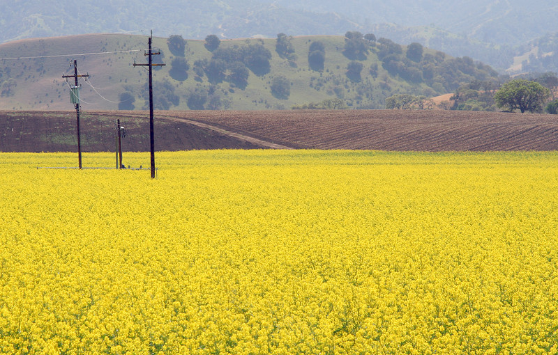 5445 Yellow Field.jpg