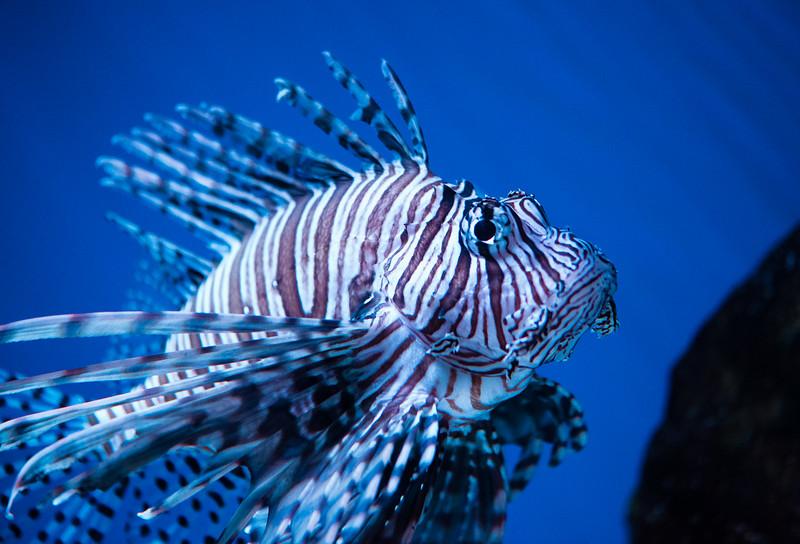 Lion Fish-1.jpg