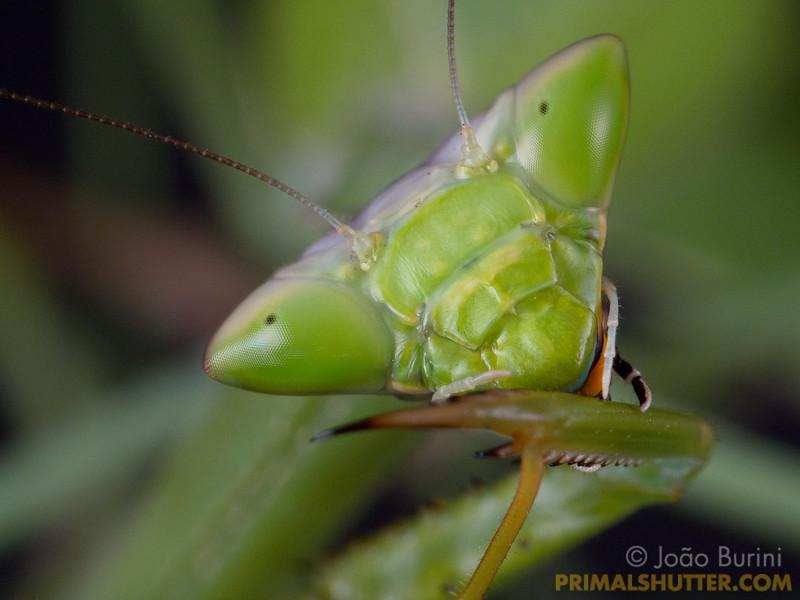 Green praying mantis cleaning it's raptorial legs