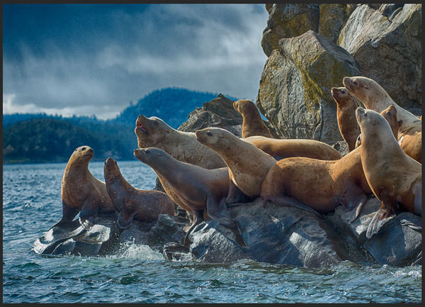 Sea lions sitting on a rock near the ocean.