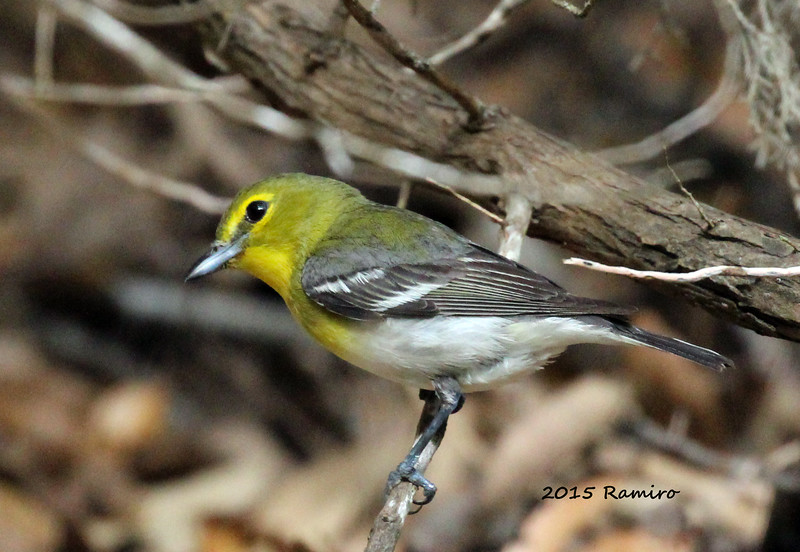 Yellow-throated Vireo 4-12-15 202.jpg