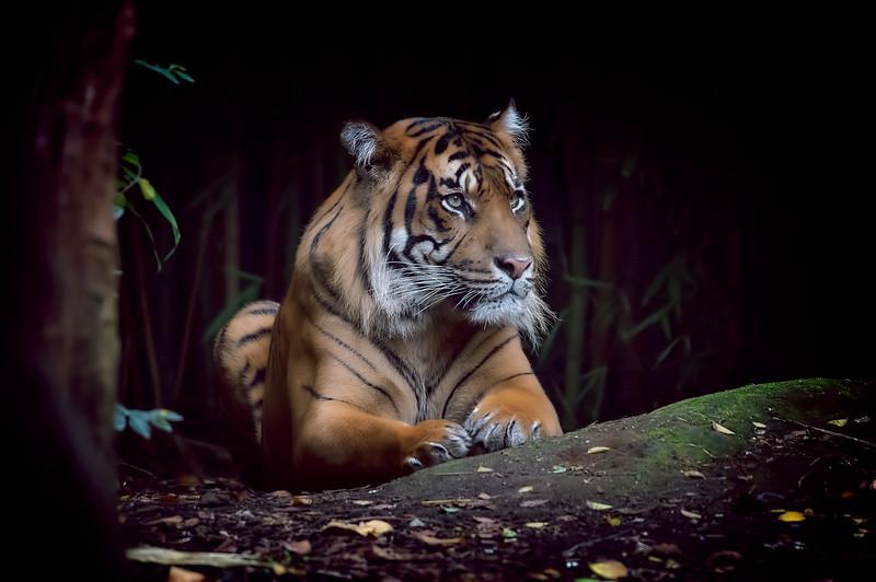 Sumatran Tiger Resting