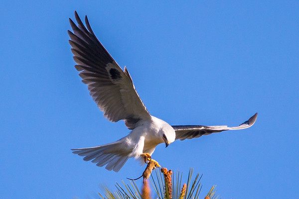 White-tailed kite Food Exchange