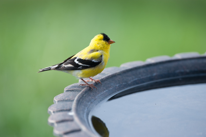 Goldfinch planning the day