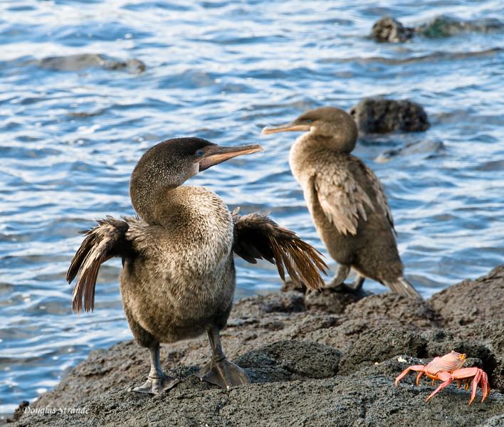 Flightless Cormorants at Punta Espinoza, Fernandina Island
