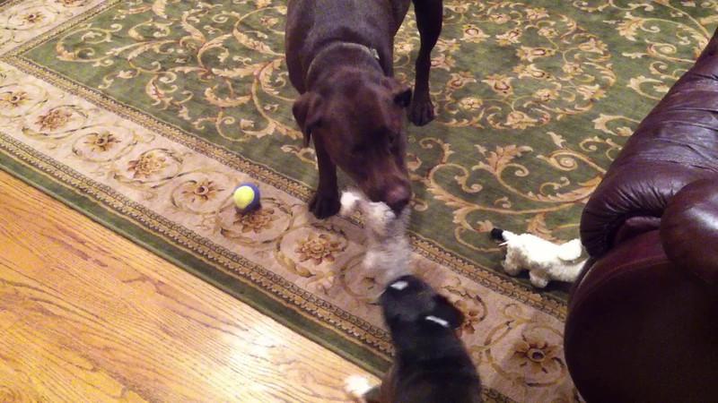 Riley and Yoda do the Tug-O-War