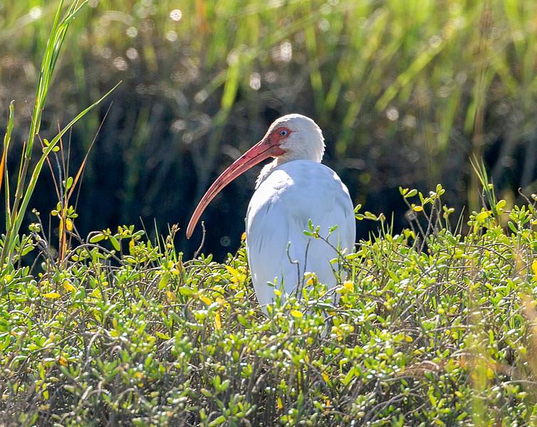 White Ibis in profile