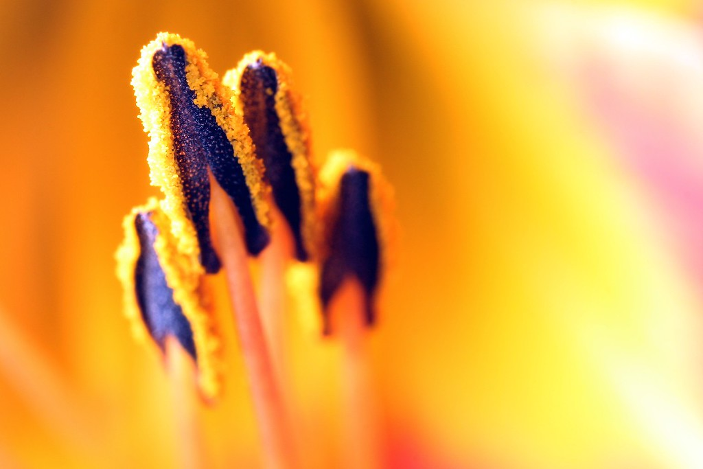 Lily pollen.