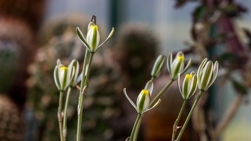 Ledebouria crispata