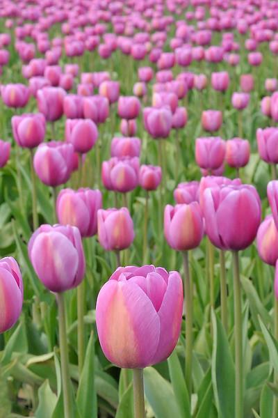 Tulips at Skagit 1