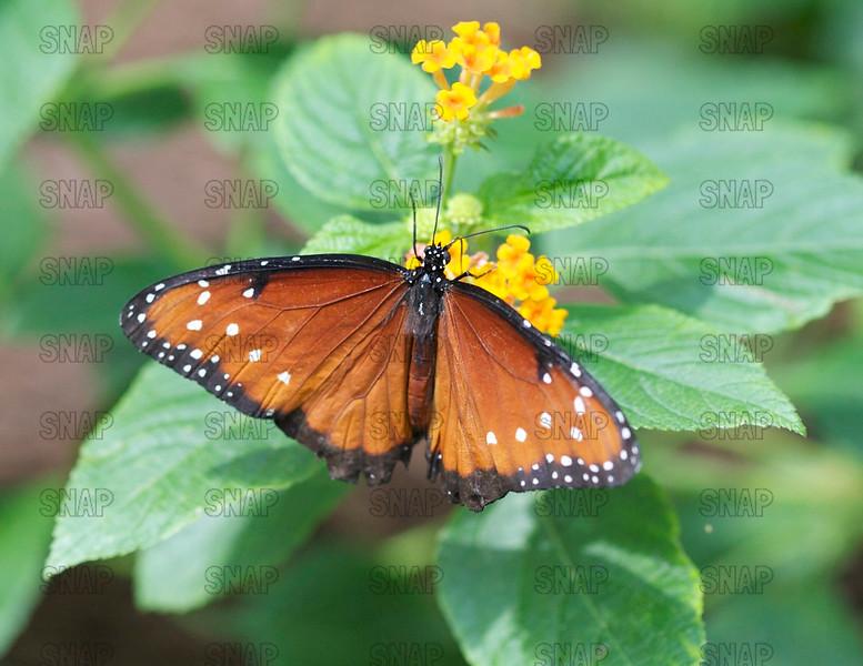 Queen; Queen Butterfly (Danaus gilippus).