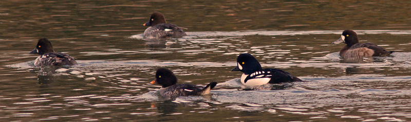Barrow's Goldeneye , Radio Road (channel)
