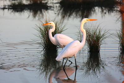 Shore Birds and Cranes