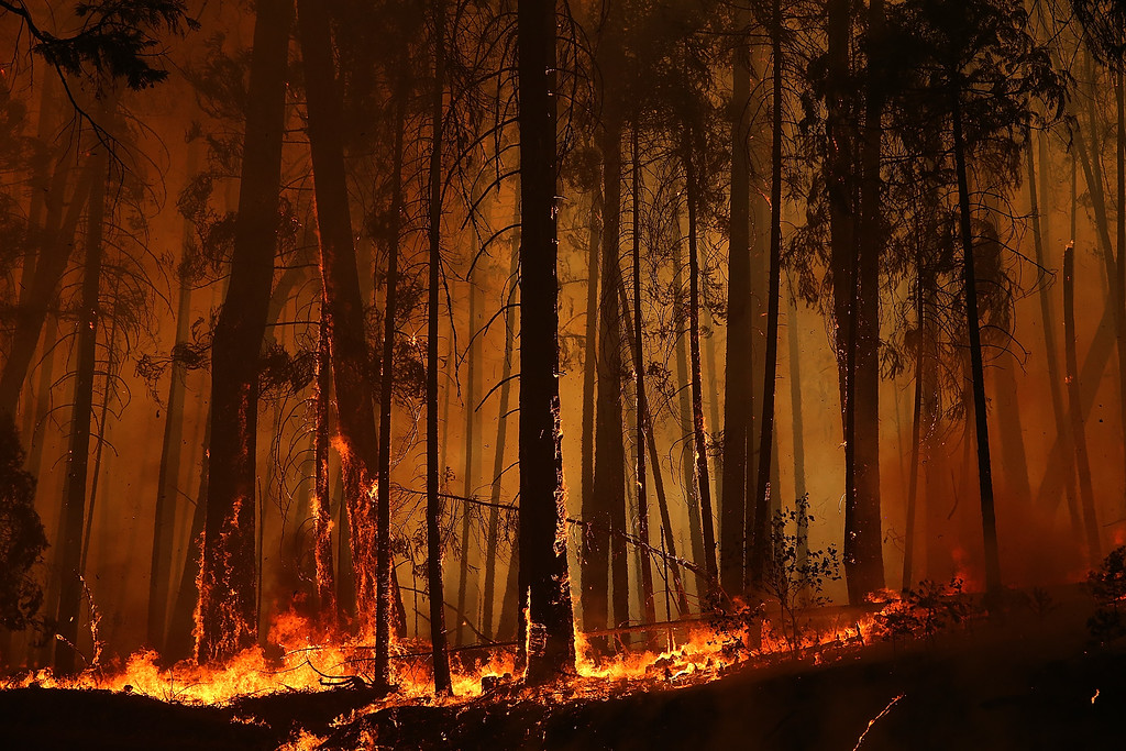 . Flames from the Rim Fire consume trees on August 25, 2013 near Groveland, California.   (Photo by Justin Sullivan/Getty Images)