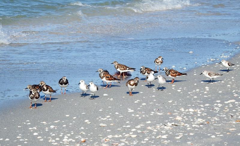 Ruddy Turnstones and Sanderlings