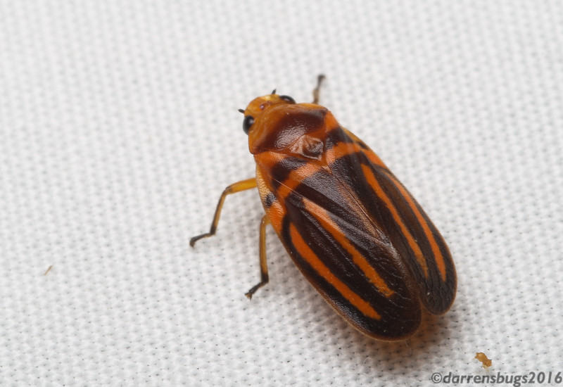 """Spittlebug (Cercopidae: Ocoaxo lineatus) from Belize. This genus is capable of """"reflexive bleeding,"""" wherein hemolymph (insect blood) mixed with toxins is deliberately released to deter predators."""