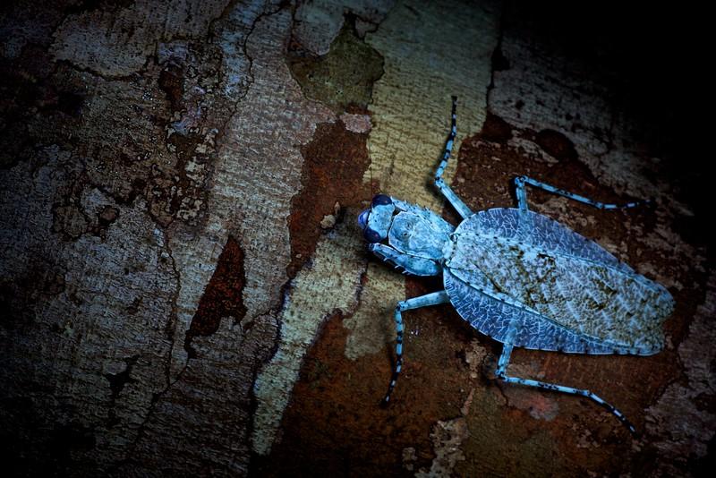 Lichen camouflaged mantis (Theopompa sp.) under UV light