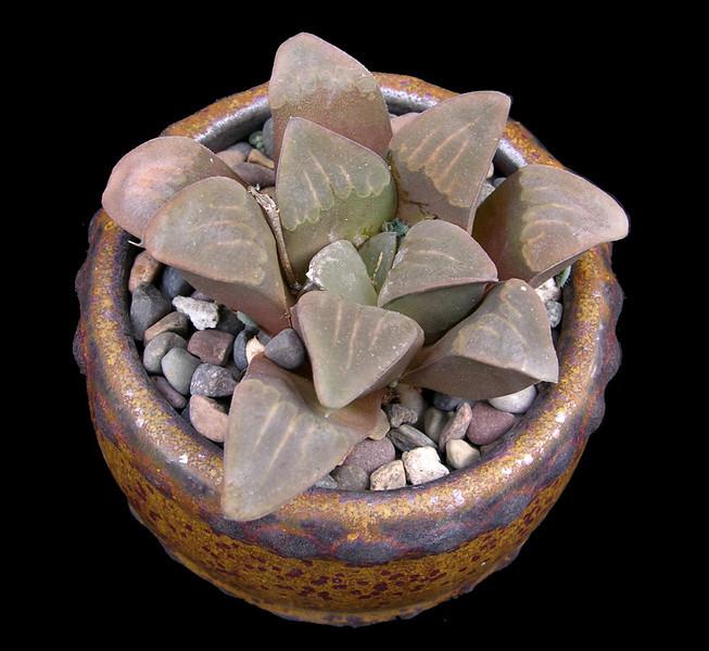 Haworthia mutica HBG 65383