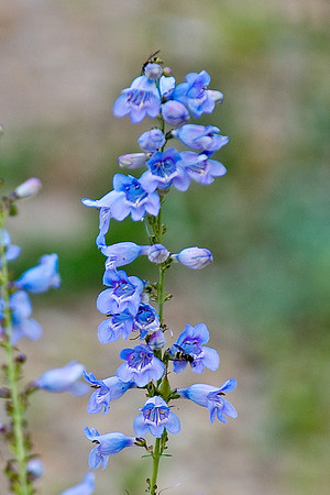 Unknown Blue Flower - Rocky Mountain National Park - CO