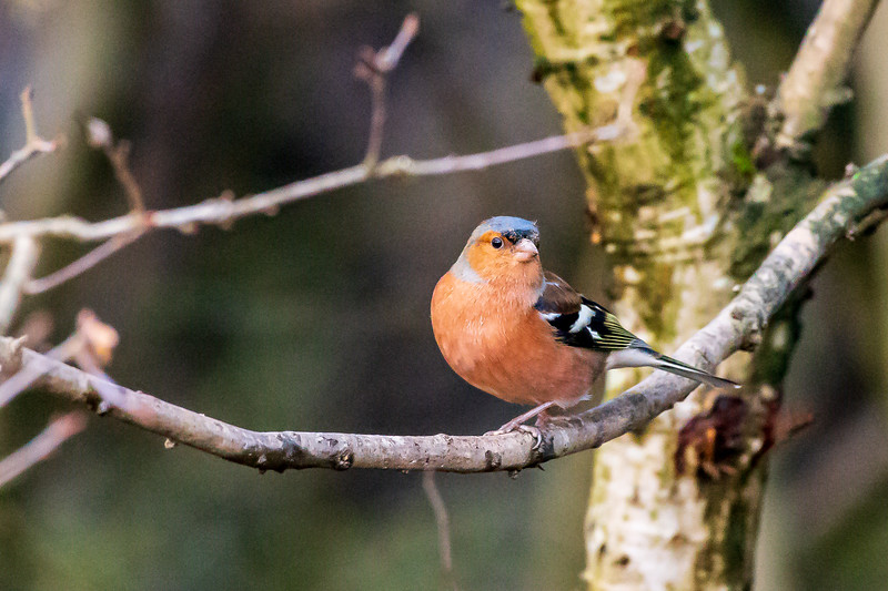 Chaffinch - Scientific name: Fringilla coelebs