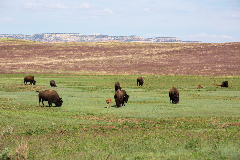 Bison, Zion Mountain Ranch