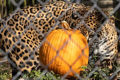 #2468/2469 Pumpkin Smash @ Louisville Zoo, 11/2/19
