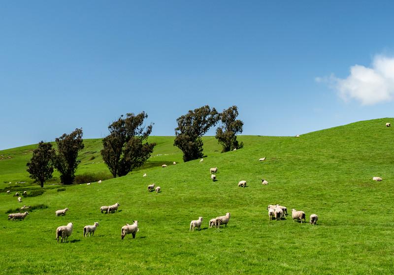 sheep on a hill.jpg