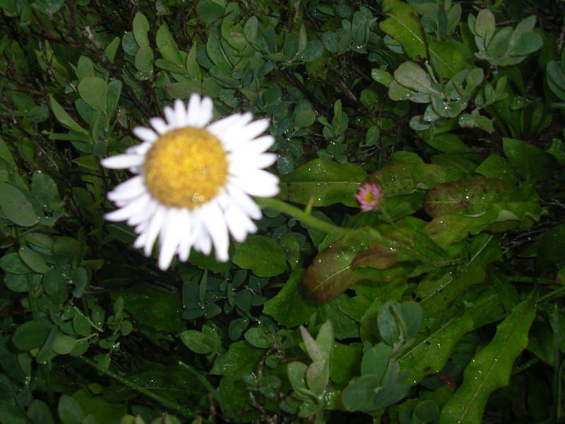 Subalpine daisy?