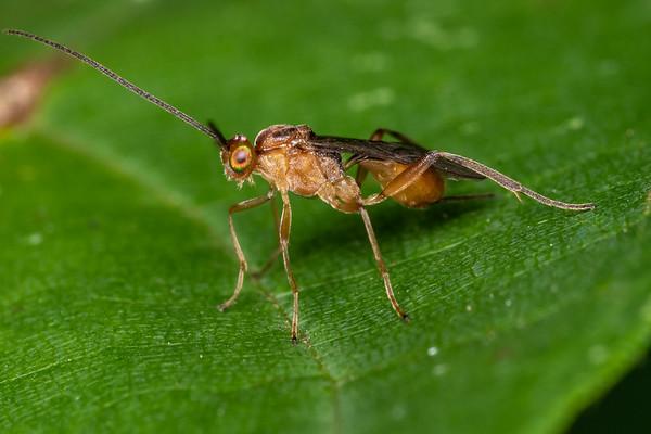 Braconid Wasps (Braconidae)
