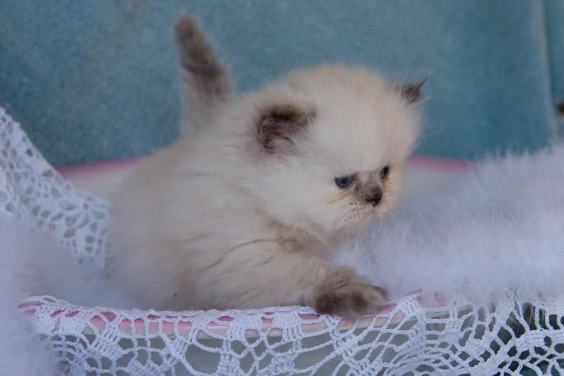 Himi_Kittens_Nov30-7968.jpg