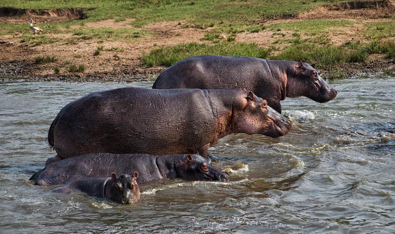 hippo family.jpg
