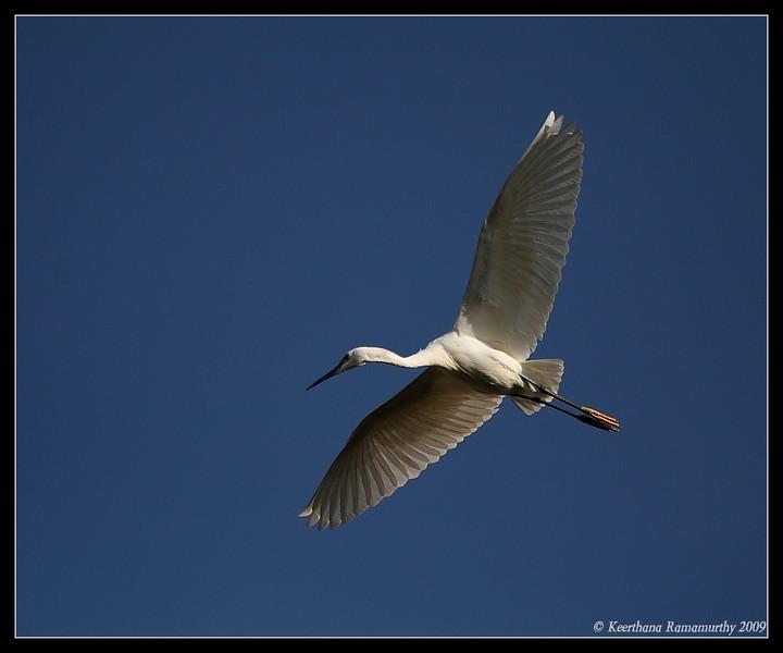 Snowy Egret, Tijuana RIver Estuary, San Diego County, California, March 2009
