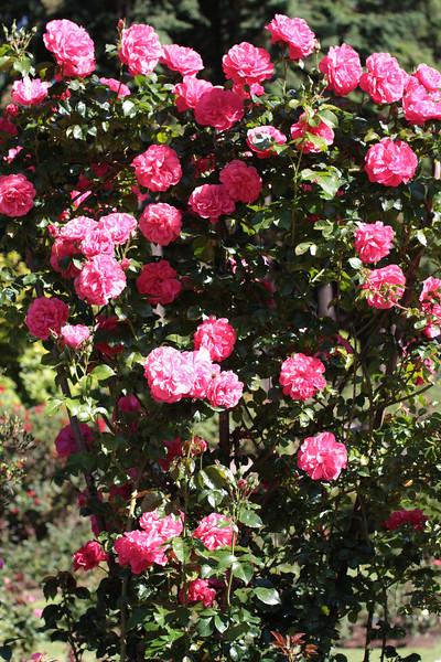 Portland International Rose Test Garden  2189.jpg