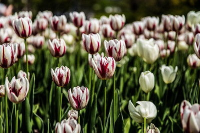 Canadian Tulip Festival - May 21-22, 2016