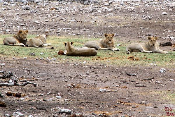 Spotting a lion pride, Etosha Namibia