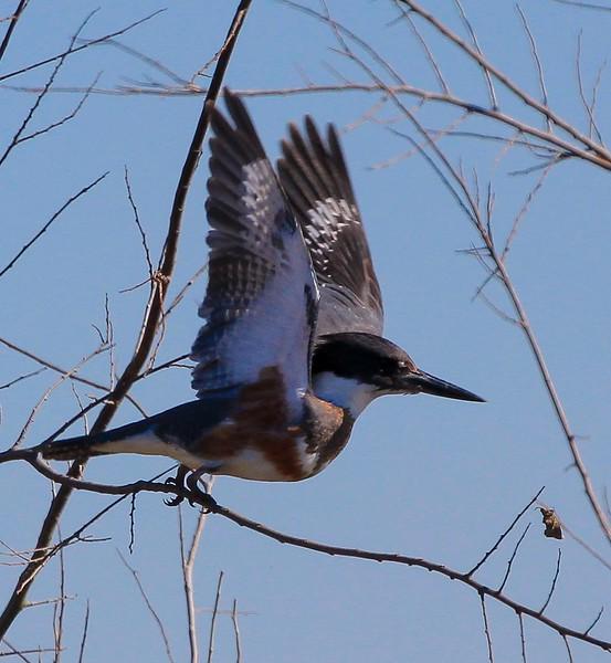 zzzAnahuac 1-24-2015, 213A, SMALL, Kingfisher.jpg