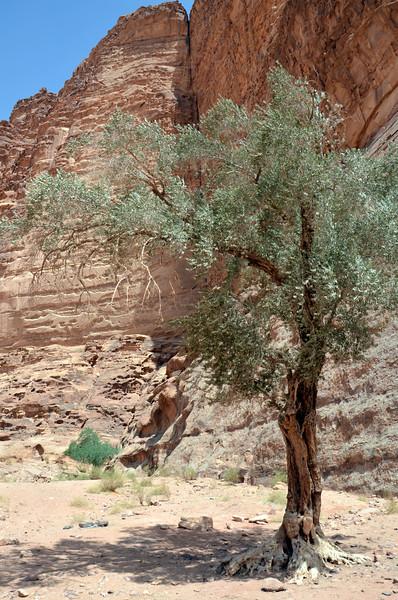 DSC_9468-olive-tree.JPG