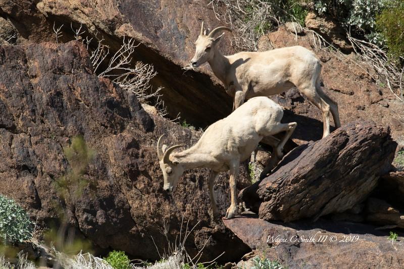 Young Big Horn Sheep