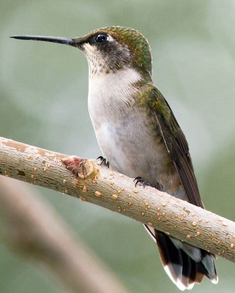Ruby-throated humming bird,7