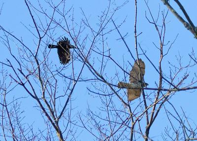 American Crow vs. Redtail Hawk