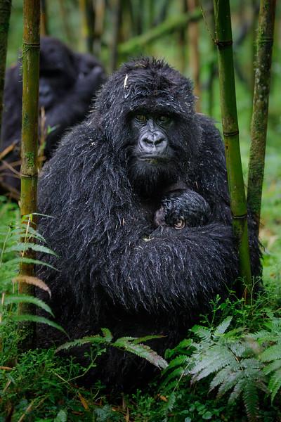 African_Apes_0218_PSokol-5223.jpg