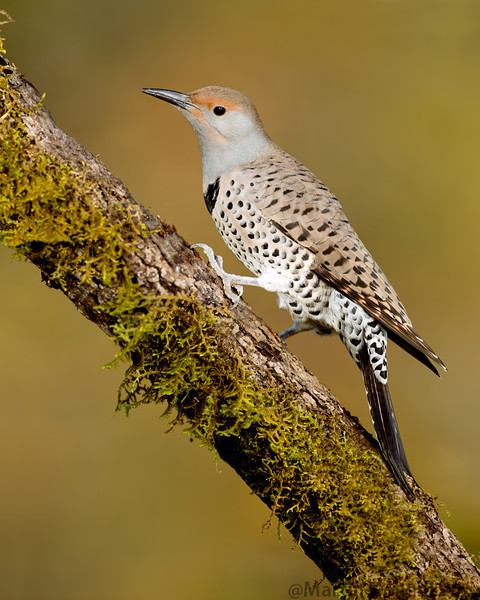 Northern Flicker Red Shafted female