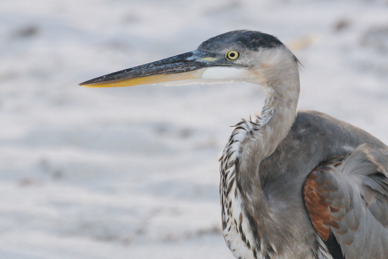 Of course, the Great Blue Heron was on watch for an easy meal.