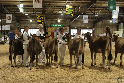 MD State Fair Jersey Heifer Show 2017