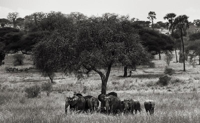 Elephants at Tarangire national park.  Tanzania, 2019