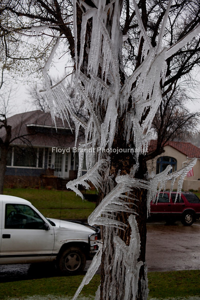 Havre Daily News/Floyd Brandt  Havre residents thought winter had returned with large icicles hanging from the trees at 929 3rd Avenue Monday. What looked like a magical ice sculpture was just a mistake by resident Jake French. French said he forgot to turn the sprinklers off Sunday night and when he left for class in the morning he found what left Havre residents scratching their heads, wondering why there was only this much ice in French's yard. French said that social media lit up with discussion about his yard and people had been driving by, stopping to take pictures and that some were driving around the block to take a second look.
