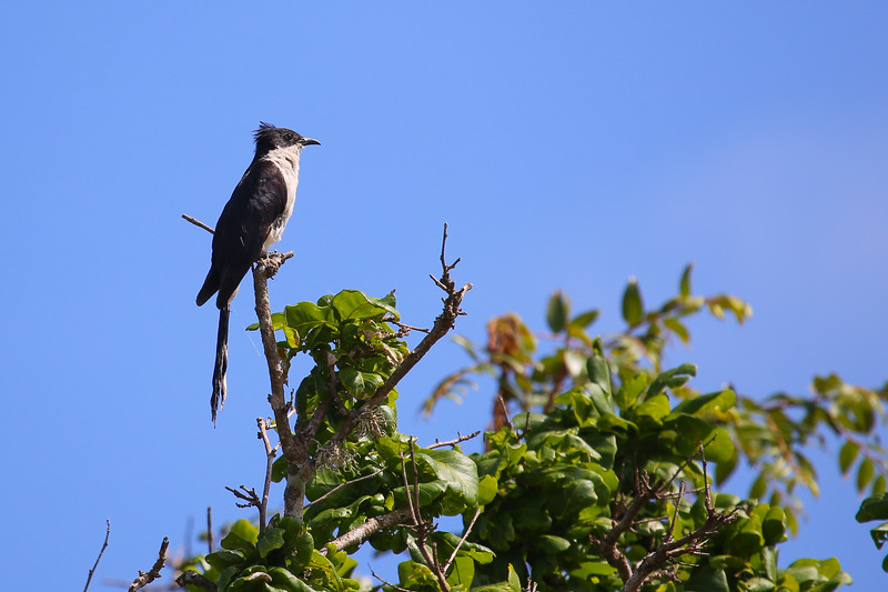 Jacobin Cuckoo (Clamator jacobinus)