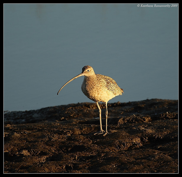 Long Billed Curlew at sunset, Tijuana River Estuary, San Diego County, California, January 2009