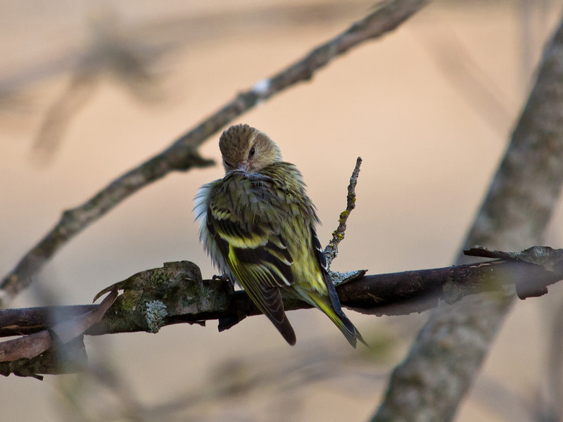 A preening pine siskin on the airport dike trail.