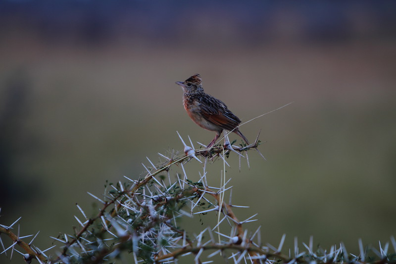Young Bird on Thorns.JPG